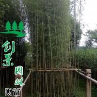 江苏宿迁供应优质雷竹--雷竹小苗--基地报价--沭...