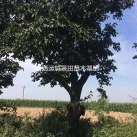 山西运城山西30公分柿子树销售价格·全冠柿子树30...