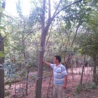 河南许昌河南许昌鄢陵2到18公分的栾树