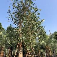 广东广州大量供应大规格菩提榕