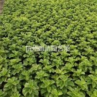 浙江杭州基地直销供应二月兰,鸭跖草,地被石竹