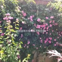 江苏宿迁蔷薇 高50-100公分蔷薇花苗价格0.4...