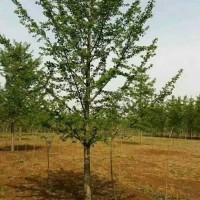 山东临沂山东临沂地区供应12公分银杏树