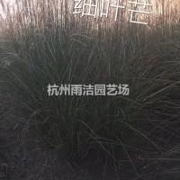 浙江杭州细叶芒,水生植物基地直销