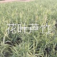 浙江杭州花叶芦竹,海量供应500万,全国zui大水...