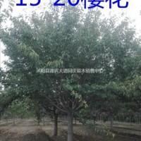 江苏宿迁江苏供应樱花、樱花价格、20公分精品樱花报...