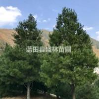 陕西西安出售7~9米原生(独杆)白皮松