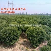 江苏宿迁大叶黄杨球冠幅50-200公分什么价格 大...