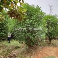 安徽合肥供应安徽合肥2-5米冠幅金桂  精品桂花 ...