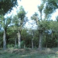 江苏宿迁常年出售移植榉树,朴树