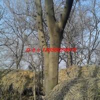 安徽合肥肥西苗木-皂角、榔榆、朴树 、三角枫、水杉...