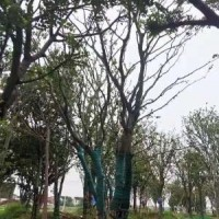 江苏苏州江苏省常熟市胸径3-5个头的丛生榉树图片展...