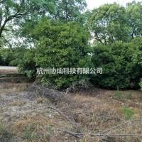浙江杭州供应大规格月桂四季桂和8到15公分左右八月...