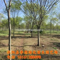 江苏宿迁江苏红榉树哪家好 红榉树现在可以种植吗