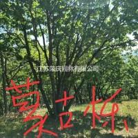 江苏沭阳优质特价蒙古栎2产地直销