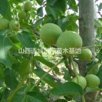 山西运城核桃树有哪些品种·哪个品种核桃树好?核桃树...