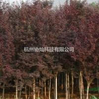 浙江杭州供丛生红叶李与丛生垂丝海棠出售