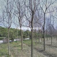 江苏宿迁供应重阳木,优秀行道树,各种规格齐全,量大...
