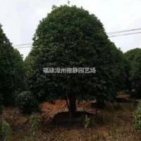 福建漳州精品桂花3米.4米.5米冠