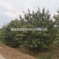 河南南阳供应精品丛生五角枫枫5-7米高
