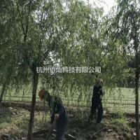 浙江杭州供应精品金丝垂柳8-28公分出售
