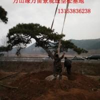 山东莱芜山东景观造型黑松 (140)信息