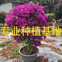 福建漳州造型三角梅价格 勒杜鹃球 九重葛柱 叶子花...