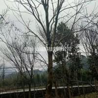 浙江杭州供应精品12-18/20-25公分七叶树