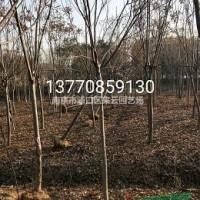 江苏南京4--20公分栾树大量出售,现货发车,全冠...