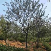 安徽滁州朴树