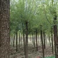 陕西榆林12公分旱柳 12公分旱柳图片