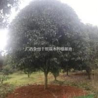 广西桂林金桂、八月桂/桂林精品桂花树