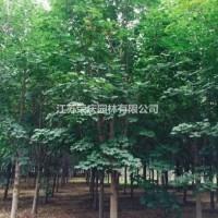 江苏沭阳江苏常年供应规格3公分~10公分美国红枫 ...