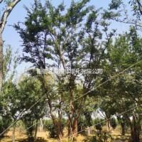 河南南阳供应各种规格丛生朴树