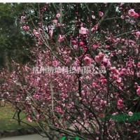 浙江杭州供丛生青枫与丛生大红梅出售