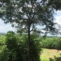 安徽合肥朴树