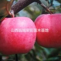 山西运城山西苹果苗基地·红富士苹果苹果苗·*大的种...