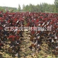 江苏沭阳江苏常年供应规格2公分~8公分红叶杨