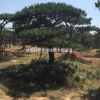 江苏宿迁供应黑松造型、黑松造型价格、黑松造型苗木