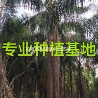 福建漳州皇后葵 金山葵 皇后葵价格批发