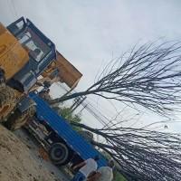 江苏苏州21-22精品榉树装车图片展示