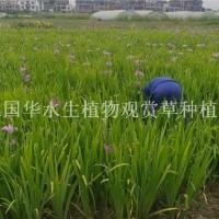杭州水生鸢尾