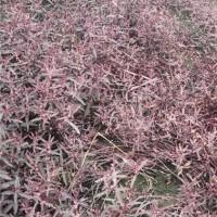杭州红莲子草0.11元每株低价供应