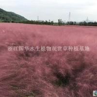 杭州粉黛乱子草0.04元/芽低价供