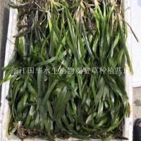杭州苦草低价0.03元/株