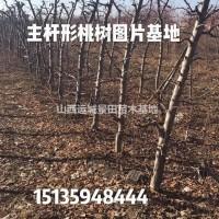 山西运城红皮桃树报价·6公分8公分10公分12公分...