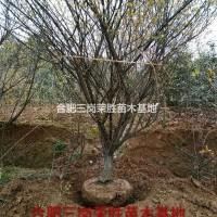 安徽合肥合肥三岗荣胜苗木基地,专供乌桕,红叶李,桂...