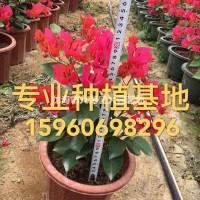 福建漳州三角梅价格 造型三角梅 三角梅批发 勒杜鹃...