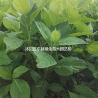 江苏宿迁供应红帽月季、八仙花、冬青、杜鹃、法国冬青...