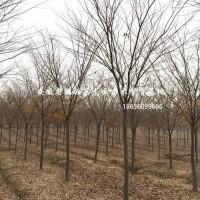 安徽合肥安徽榉树-肥西榉树基地-榉树价格-榉树3-...